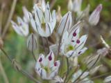 Allium moschatum6.JPG