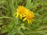 Inula germanica8.JPG