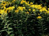 Inula spiraeifolia.jpg