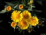 Inula spiraeifolia04.jpg