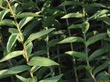 Inula spiraeifolia05.jpg