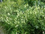 Aconitum vulparia.JPG