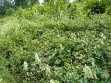 Aconitum vulparia9.JPG