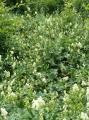 Aconitum vulparia2.JPG