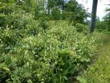 Aconitum vulparia14.JPG