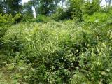 Aconitum vulparia15.JPG