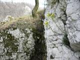 Draba lasiocarpa 3-Német-v.JPG