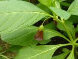 Scopolia carniolica10.JPG