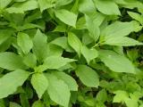 Scopolia carniolica7.JPG