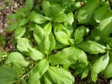 Scopolia carniolica9.JPG