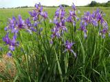 Iris spuria03.jpg