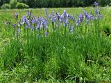 Iris sibirica01.jpg