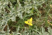 Iris arenaria 14-05-2011 09-58-32.JPG