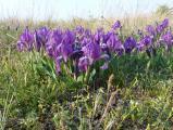Iris pumila7.JPG