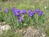 Iris pumila9.JPG
