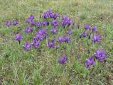 Iris pumila14.JPG