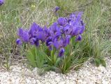 Iris pumila4.JPG