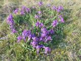Iris pumila6.JPG