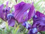 Iris pumila23.JPG