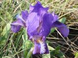 Iris pumila25.JPG