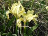 Iris pumila31.JPG