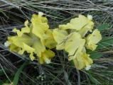 Iris pumila33.JPG