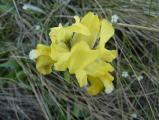 Iris pumila34.JPG