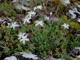 Dianthus plumarius subsp.praecox.jpg