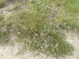 Gypsophila arenaria9.JPG