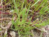 Gypsophila arenaria11.JPG