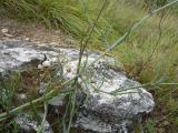 Gypsophila arenaria12.JPG
