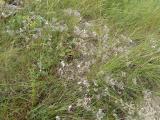 Gypsophila arenaria10.JPG