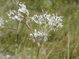 Gypsophila arenaria4.JPG