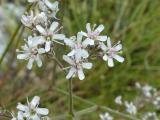 Gypsophila arenaria14.JPG