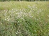 Gypsophila arenaria18.JPG