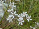 Gypsophila arenaria21.JPG