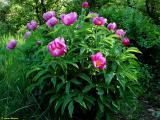 Paeonia officinalis subsp.banatica.jpg