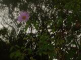 Asteraceae (52).JPG
