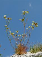 Seseli leucospermum