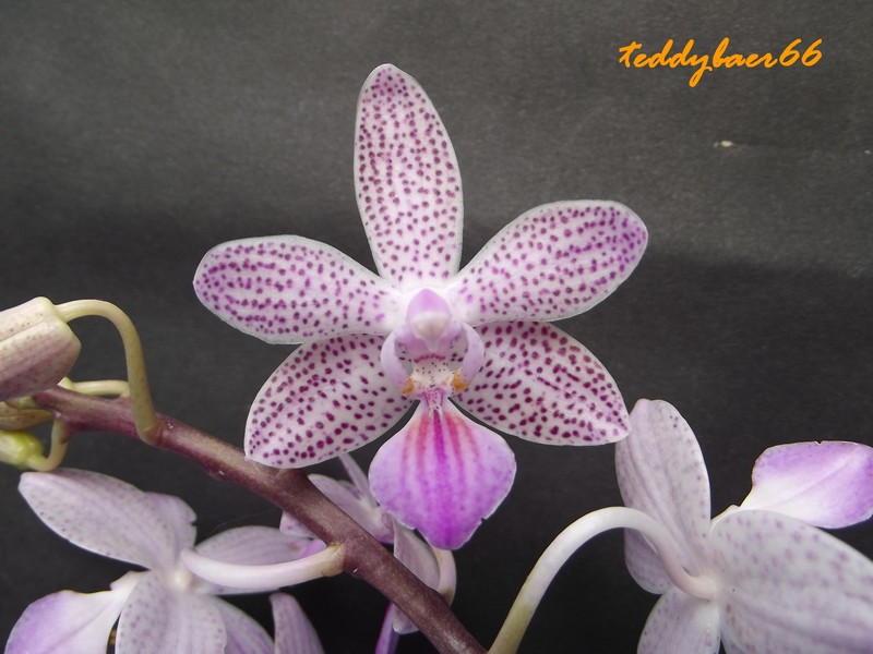 phalaenopsis hybriden phal elke cramer ambomanniana x lindenii. Black Bedroom Furniture Sets. Home Design Ideas