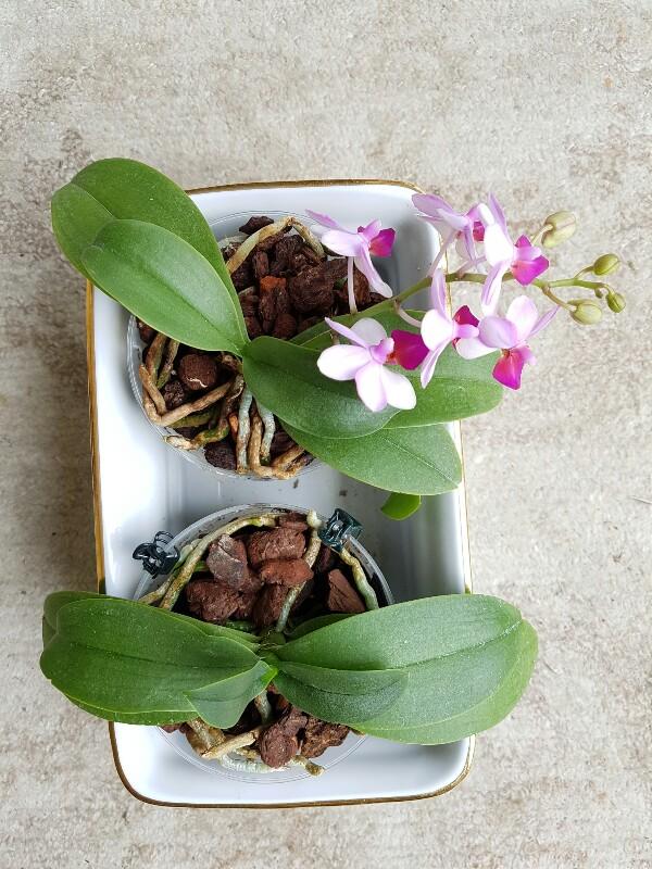 phalaenopsis hybriden phal liu 39 s berry. Black Bedroom Furniture Sets. Home Design Ideas