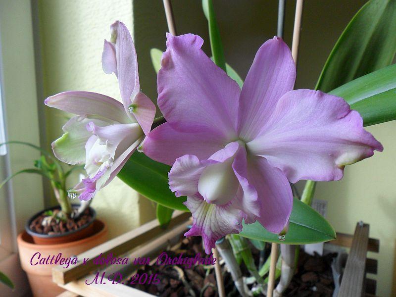 Cattleya dolosa - Seite 2 Pictures_u10478_etLSDJNb