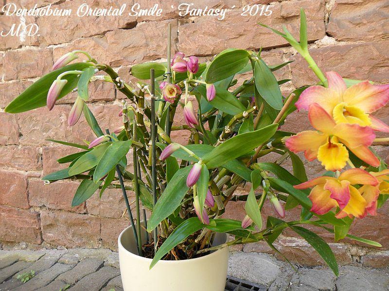 Dendrobium nobile Hybride - Seite 4 Pictures_u9444_FVpDQtfm