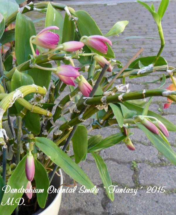 Dendrobium nobile Hybride - Seite 4 Pictures_u9445_rBYaGPUm