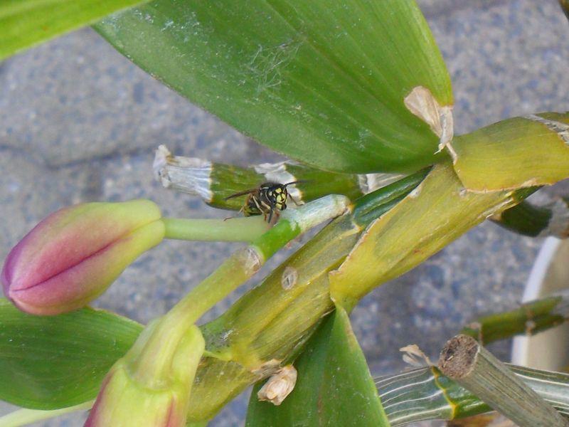 Dendrobium nobile Hybride - Seite 4 Pictures_u9446_SCZXDKgG