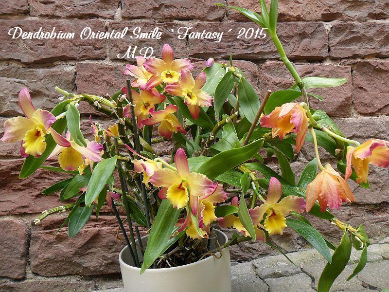Dendrobium nobile Hybride - Seite 4 Pictures_u9516_APhDtTWO