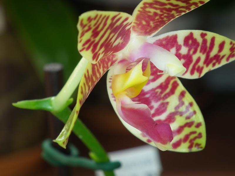 Phalaenopsis amboinensis x pulchra Pictures_u3217_a91f18
