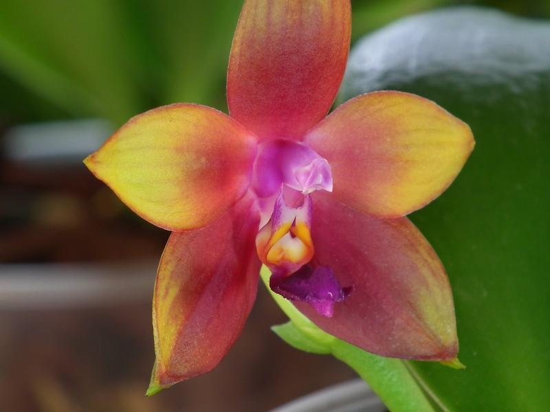 Phalaenopsis violacea x venosa (Penang Girl )  Pictures_u3229_1bce88
