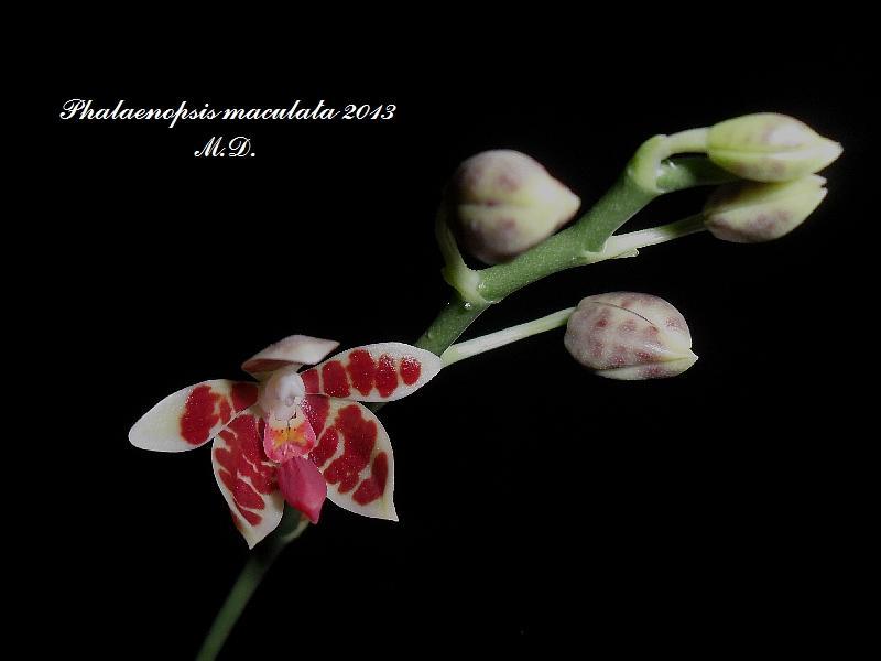 Phalaenopsis maculata Pictures_u3735_e112f2