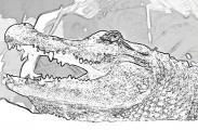 fany.over-blog.de krokodile echsen (9).jpg